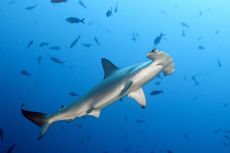 A hammerhead shark with distinctive eye placement prowls the waters