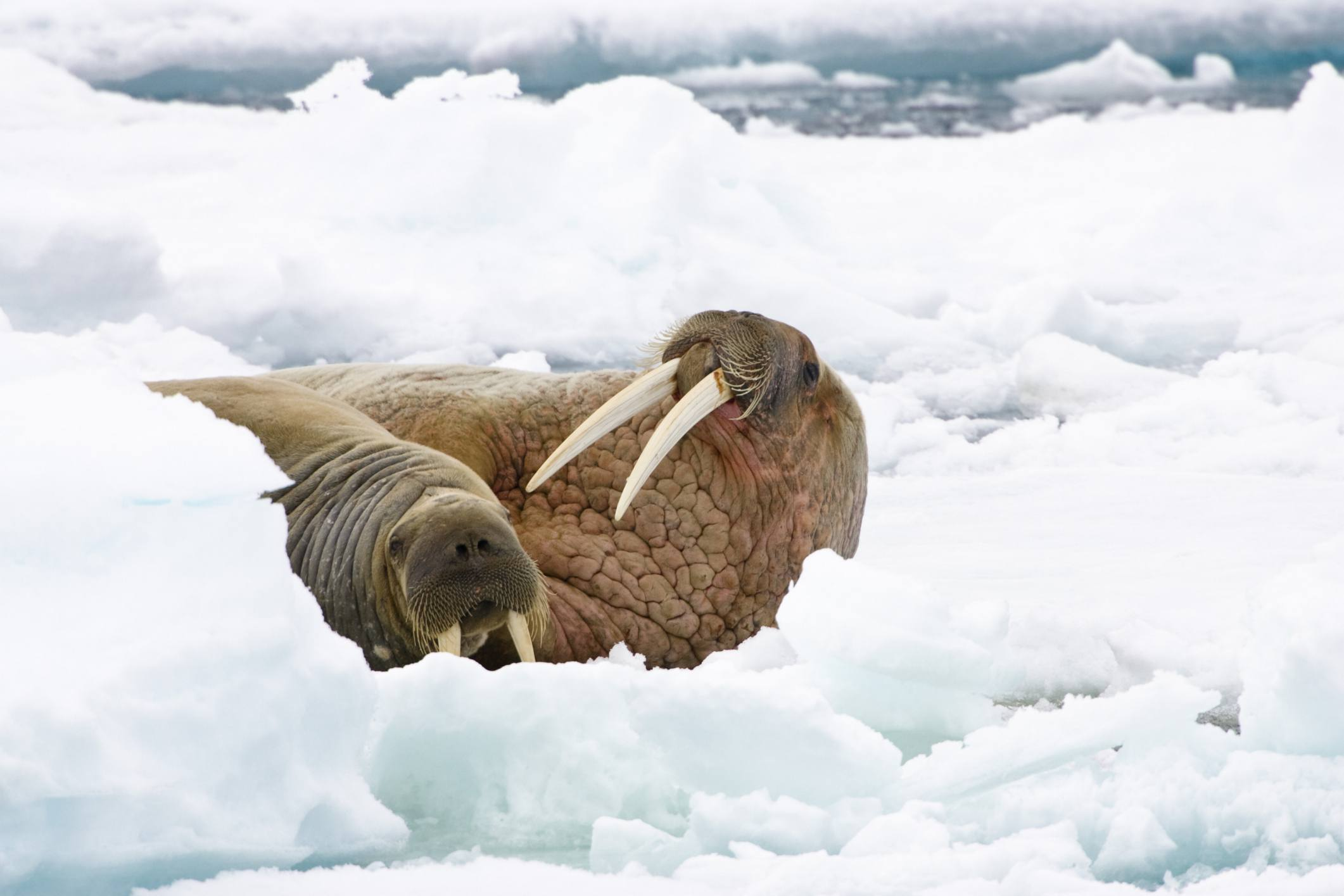 A male and female walrus lay amongst ice