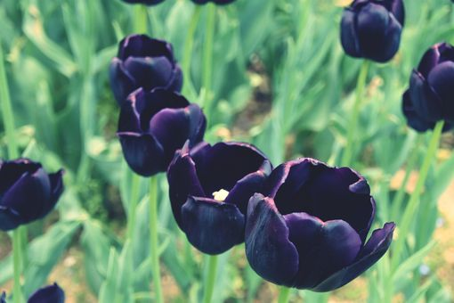 Close-up of black tulips in a field