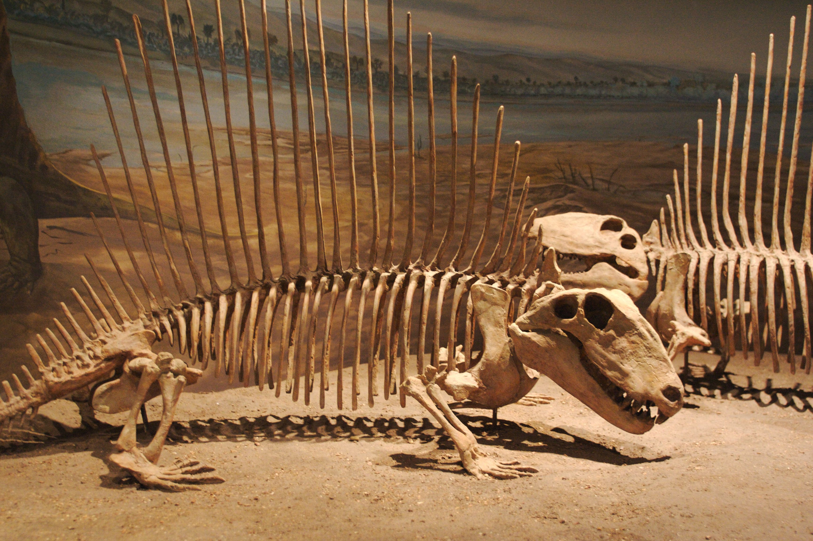 A pair of dimetrodon skeletons displays the long, spindly bones that support the sail