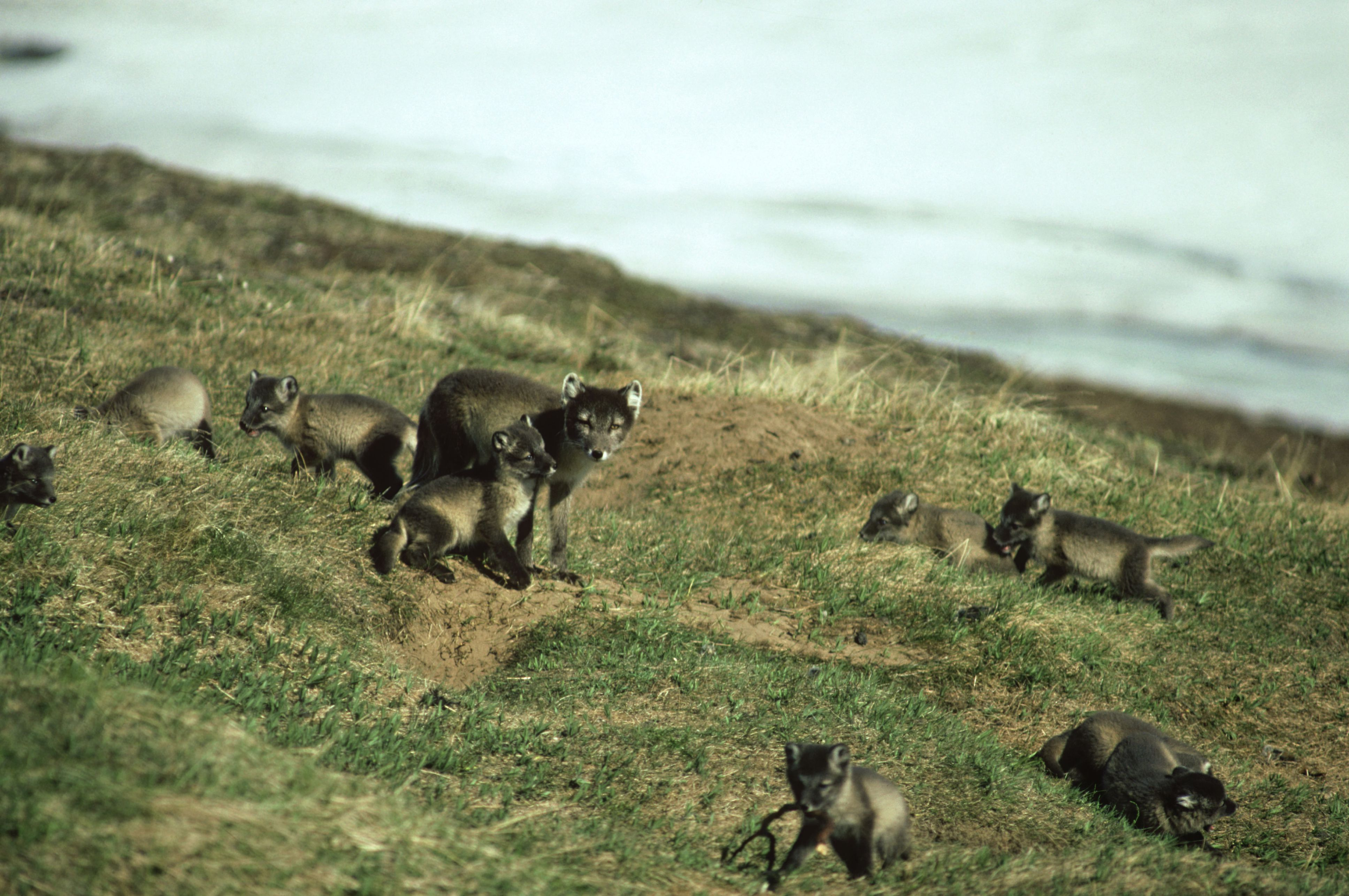 If food is abundant, an arctic fox may give birth to up to 25 pups!