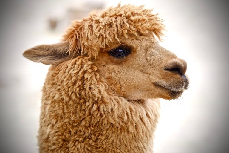 Amazing Alpaca Facts, the World's Smallest Camel
