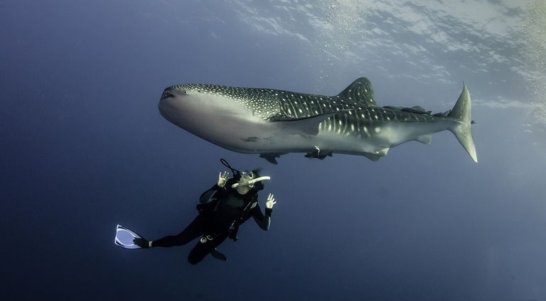 scuba diver swimming under a whale shark