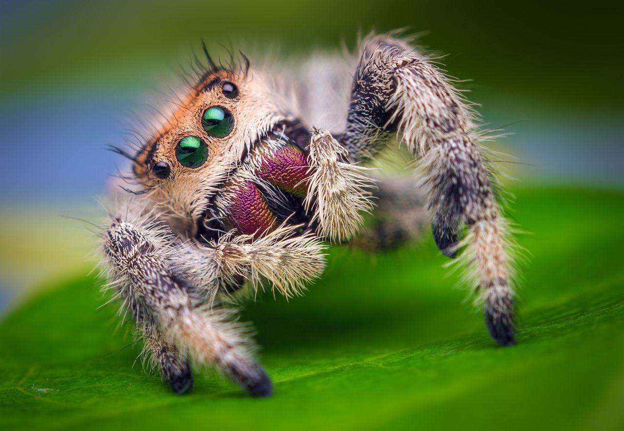 Jumping spider close up looking at camera.
