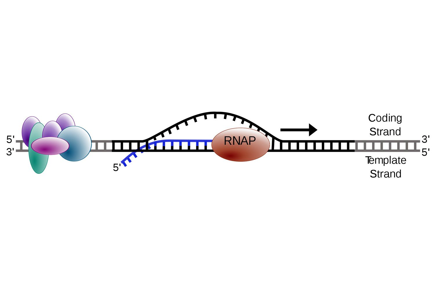 Steps of Transcription From DNA to RNAThoughtCo