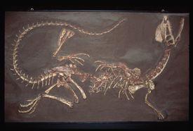 Jurassic Twin Crested Dilophosaurus Fossil