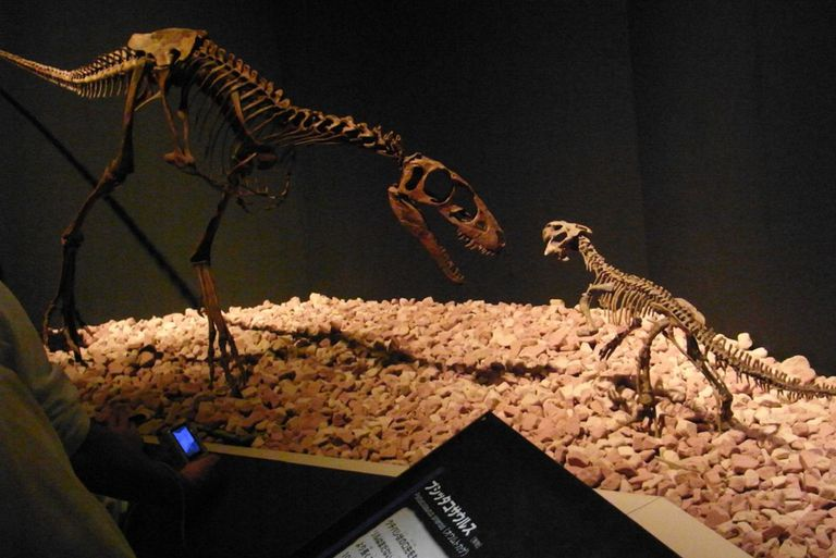 Raptorex and Psittacosaurus skeletons on display