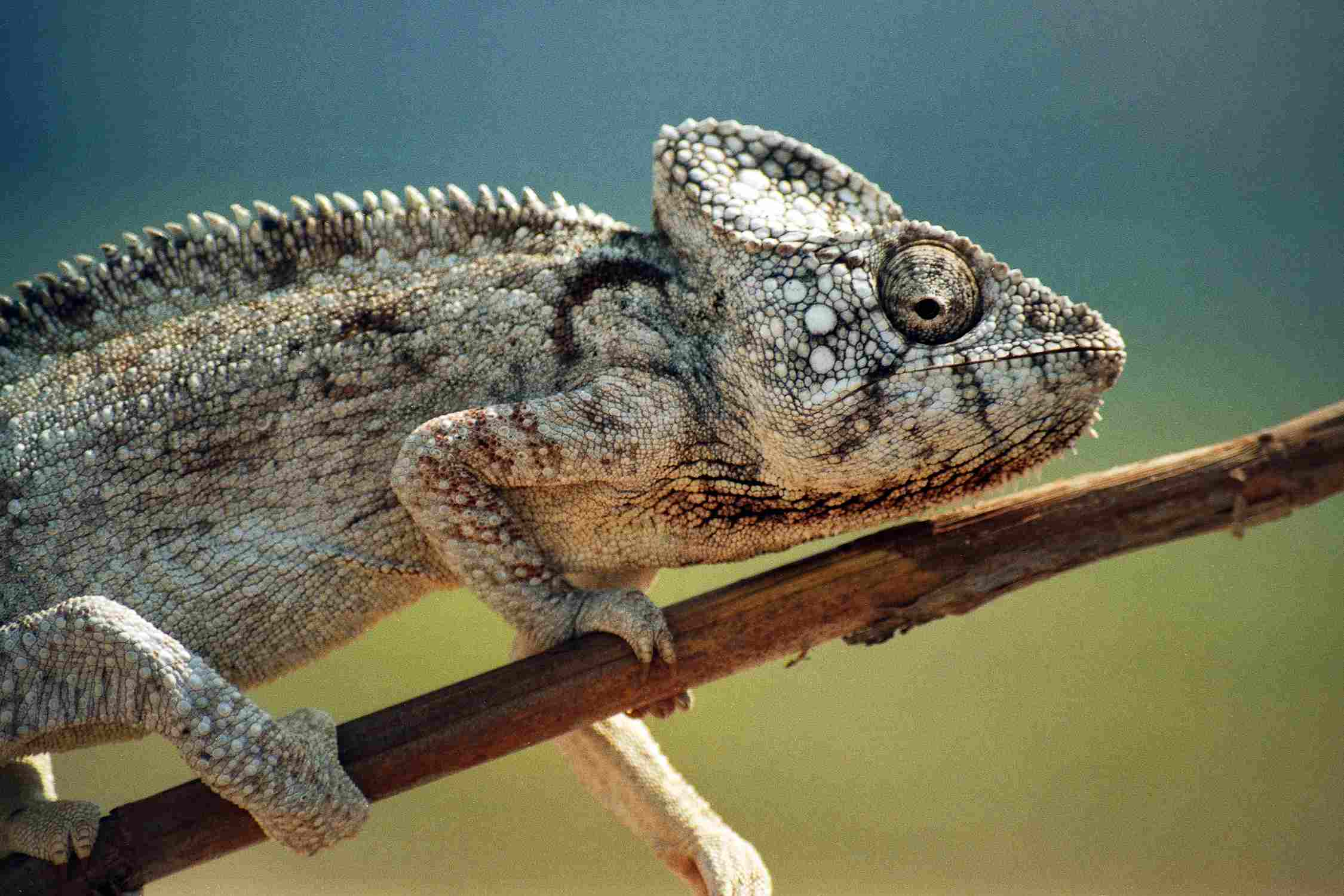 Chameleon - Chamaeleonidae