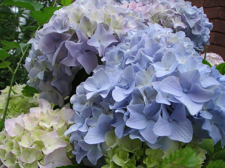 blue-white flowers