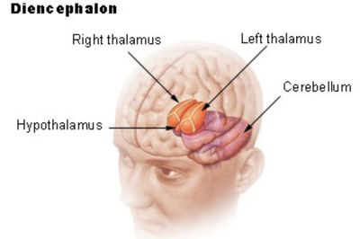 Hypothalamus function hormones and structure what is the diencephalon part of your brain ccuart Gallery