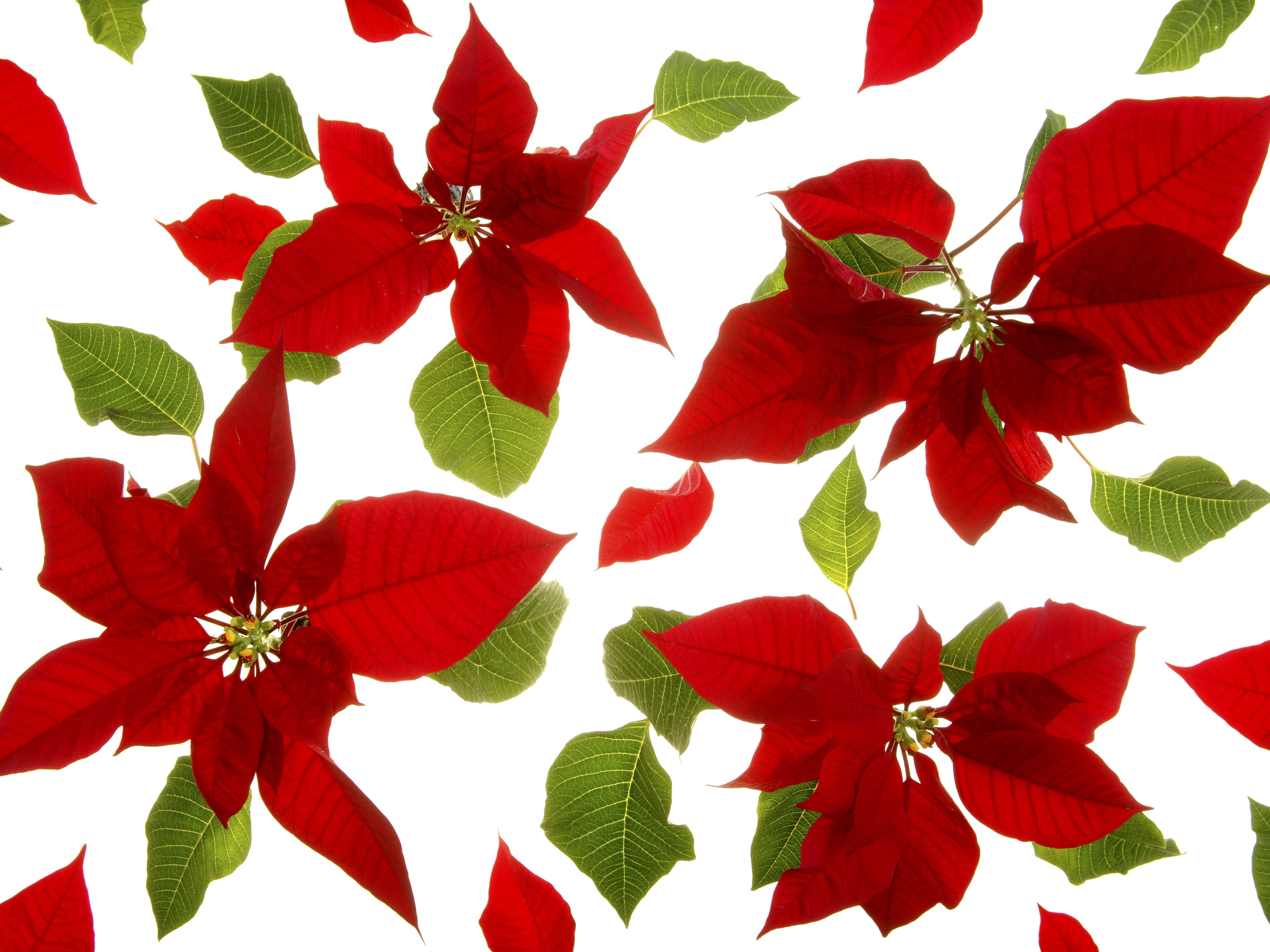 Poinsettia Ph Paper Holiday Chemistry Project