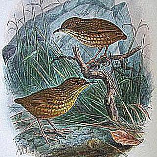 stephens island wren
