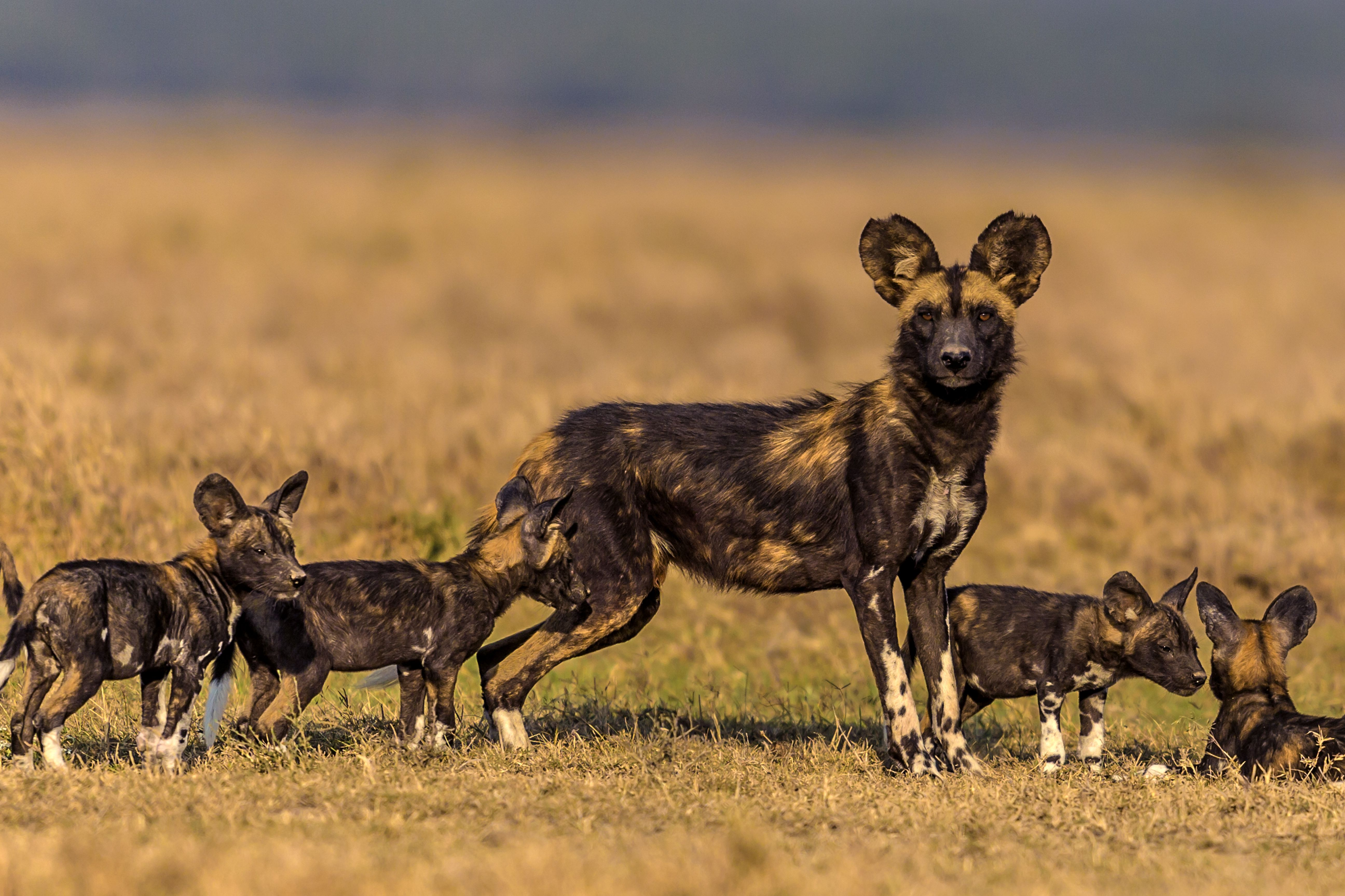 Females guard their puppies from predators and other pack members, rather than hunt.