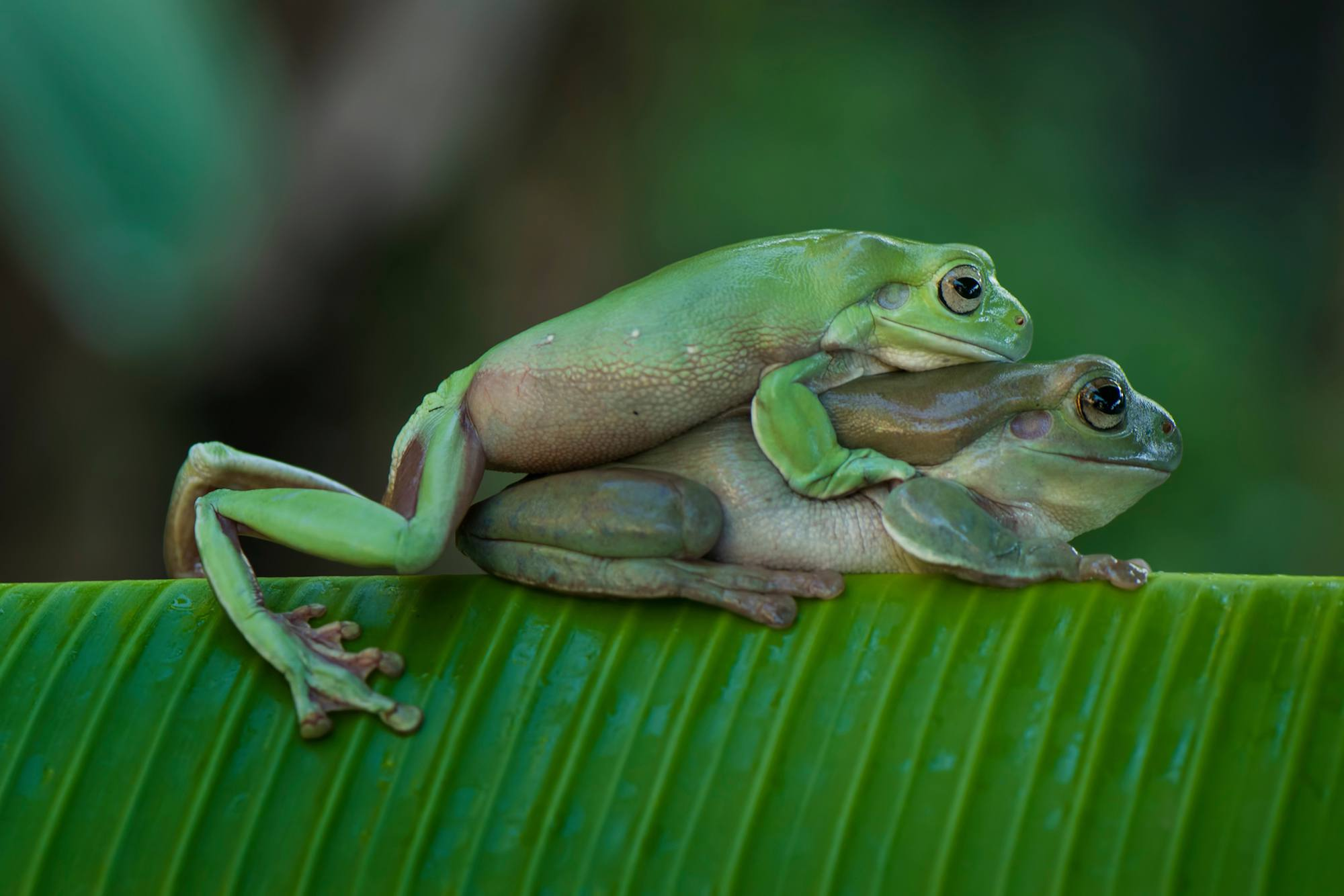 Close-up of frogs mating on a banana leaf
