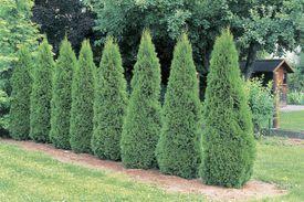 American Arborvitae