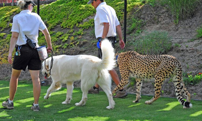 Shiley the Cheetah (Acinonyx jubatus) his canine companion, Yeti the Anatolian Shepherd Photographed at the San Diego Zoo Safari Park in Escondido, CA