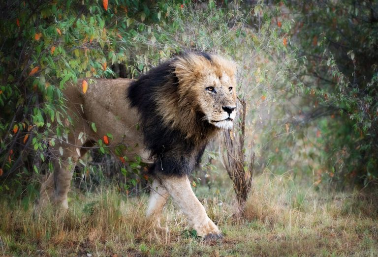 Male Lion Walking Against Bush in Masai Mara, Kenya