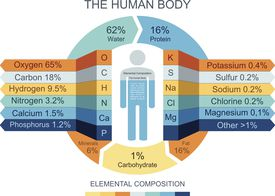Illustration of the makeup of the human body
