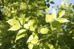 boxelder tree leaves