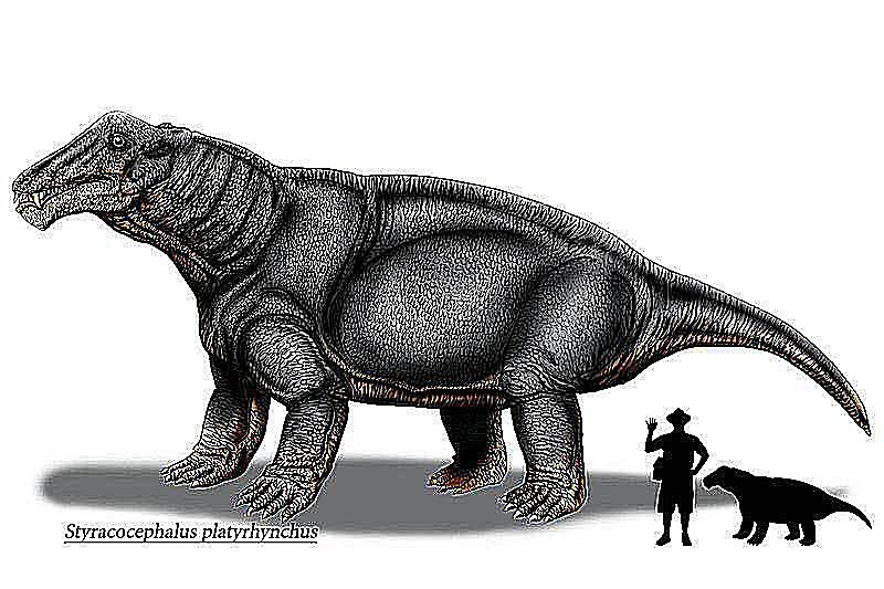 styracocephalus