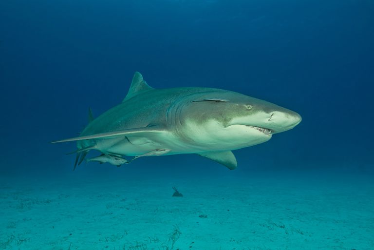 Lemon shark, Tiger Beach, Bahamas