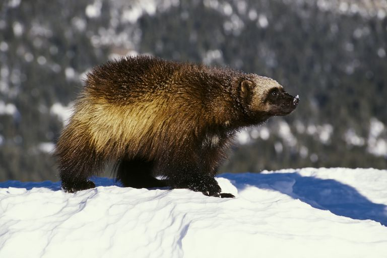 Wolverine (Gulo gulo) in snow, Montana, USA (Animal model)
