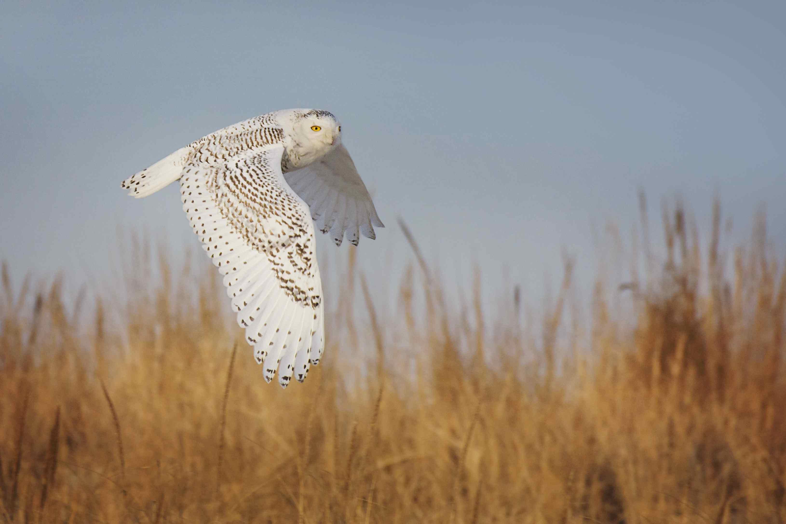Snowy Owl in Elegant Flight Over Grass at Jones Beach, Long Island