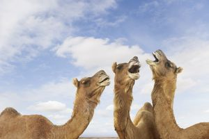 Camels braying at the air