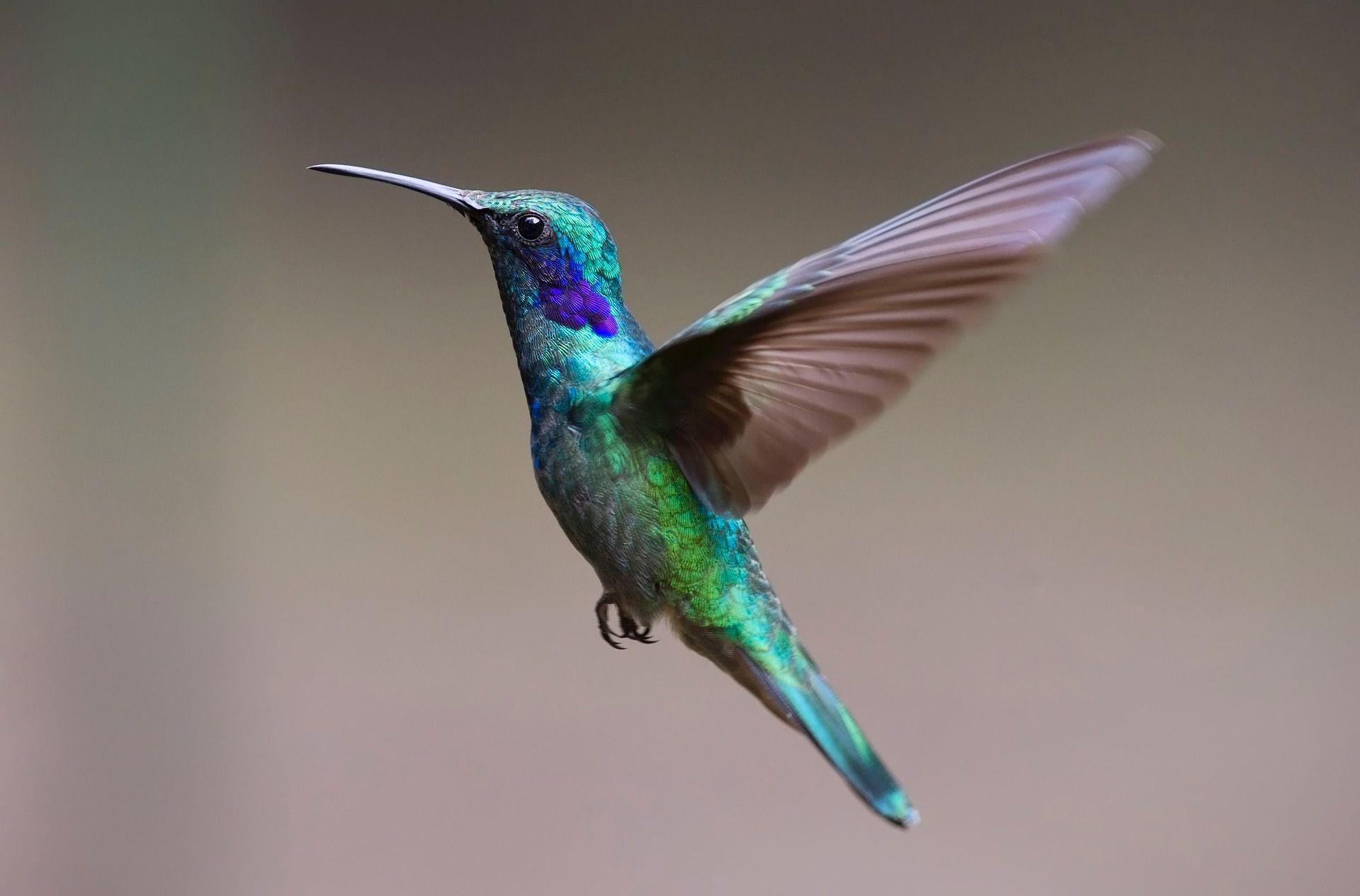 Hummingbird hovering in air