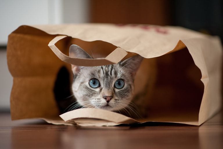 Grey cat in a paper bag
