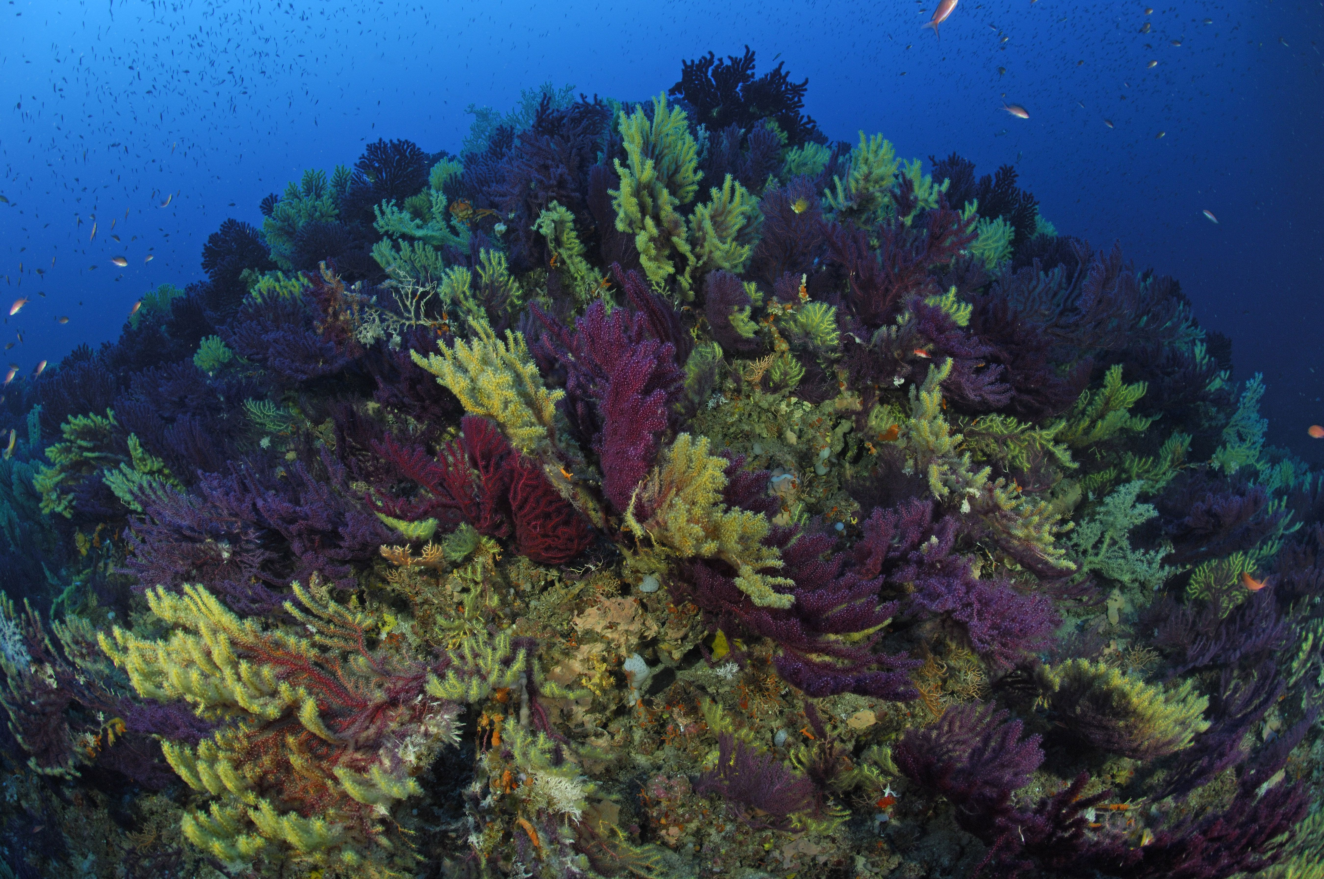 Reef with variable gorgonians (Paramuricea clavata)