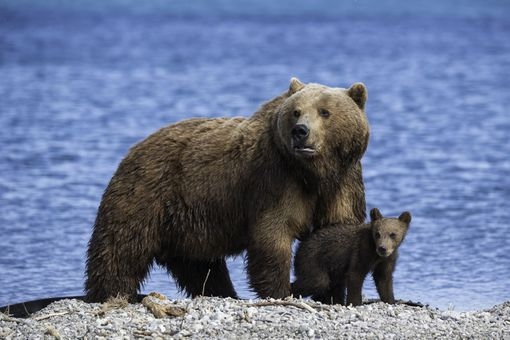 Mother brown bear standing over her cub, Kuril Lake, Kamchatka, Russia.
