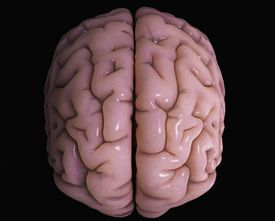 A model of the human brain showing the cerebral cortex.