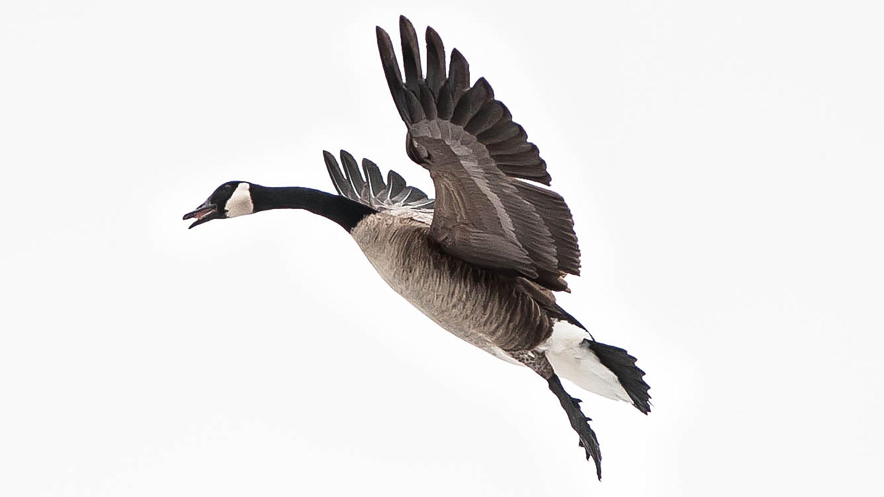 Canada Goose Facts: Habitat, Diet, Predators, and More