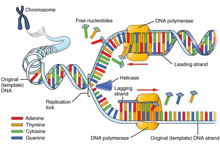 Dna replication process and steps dna replication faithfully duplicates the entire genome of the cell during dna replication a ccuart Gallery