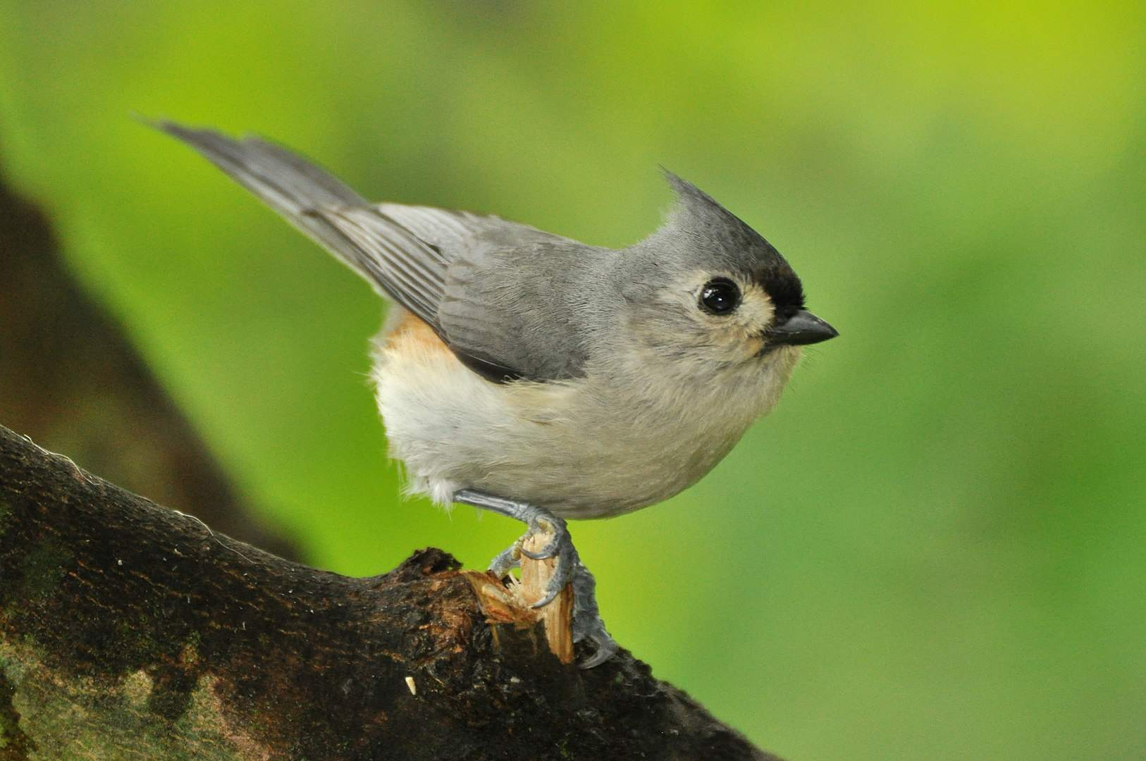 Tufted titmouse sitting on a branch close up.