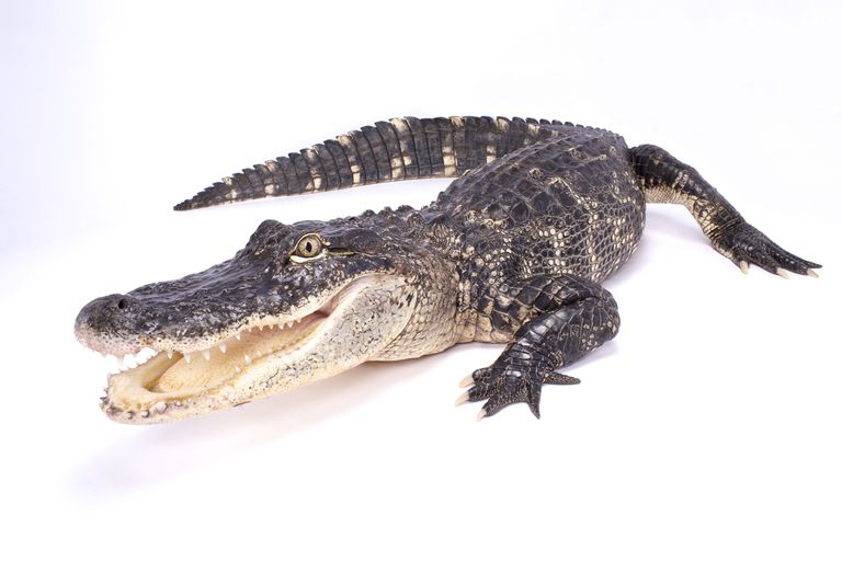 Amazing Alligator Facts