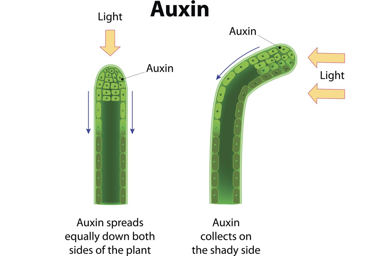 Φωτοτροπισμός Auxins