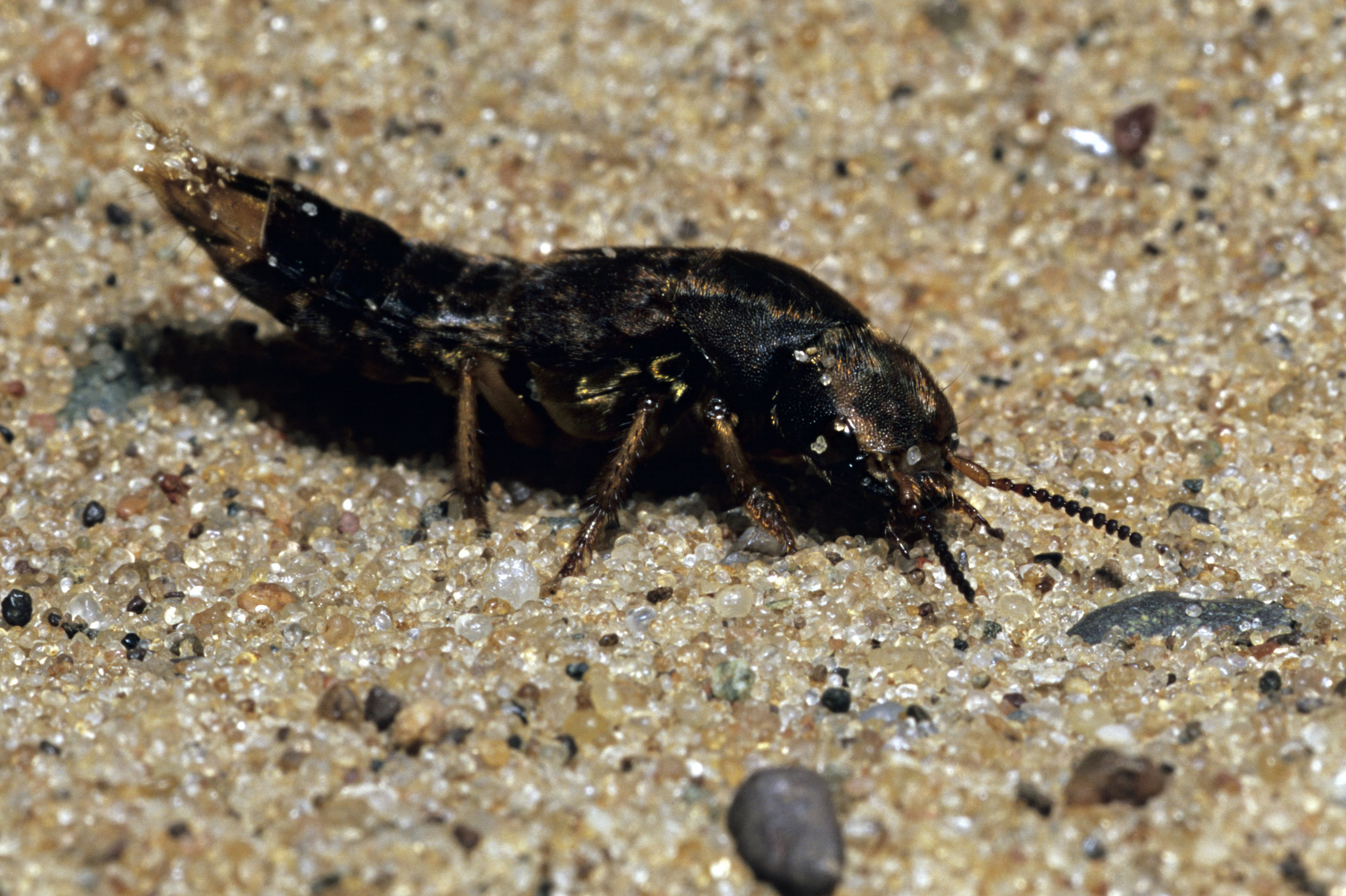 Spotted rove beetle