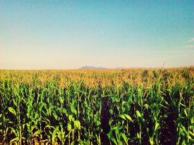 Massive corn field against a clear sky is an inviting bioenergy source.