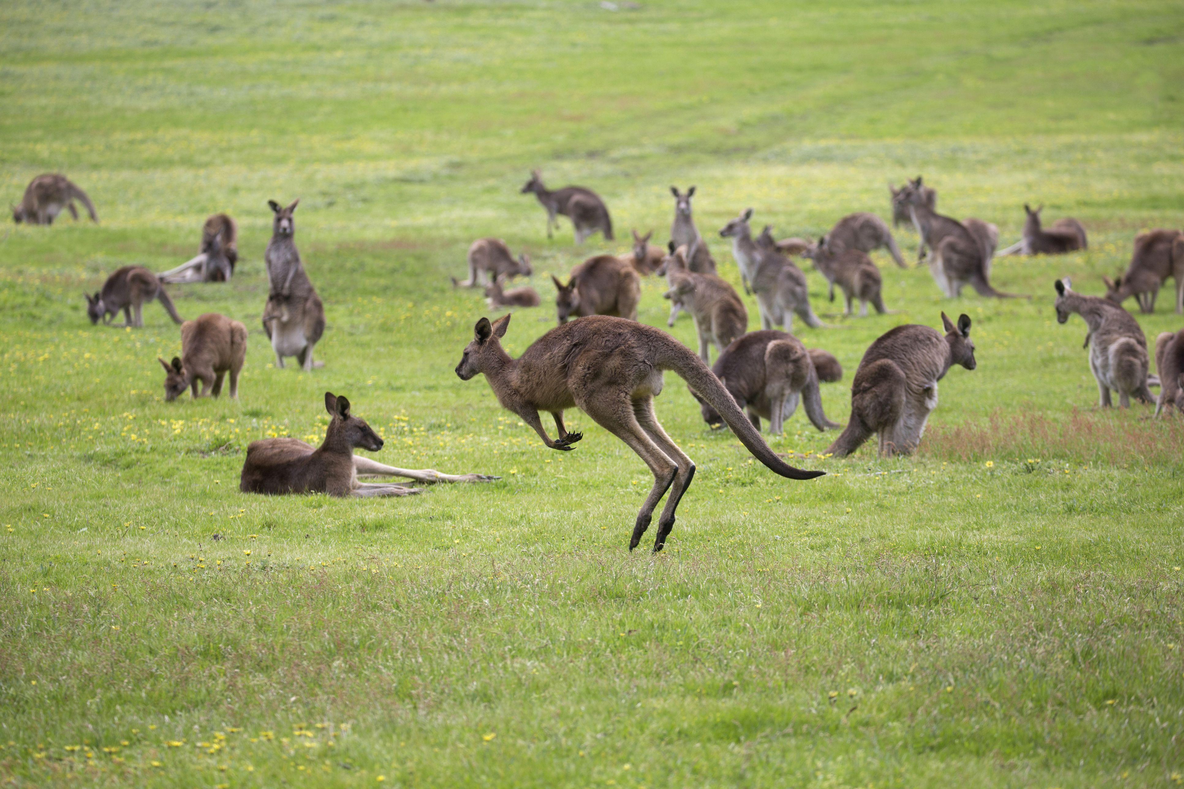 Wild kangaroos in green field.