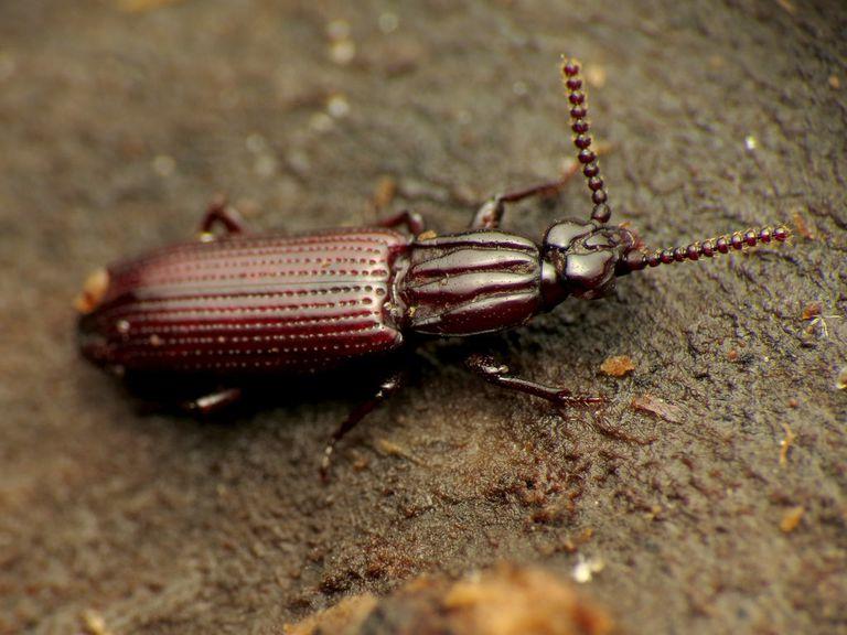 Bark beetle