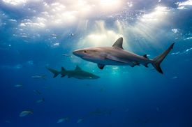 Caribbean reef sharks and sun rays