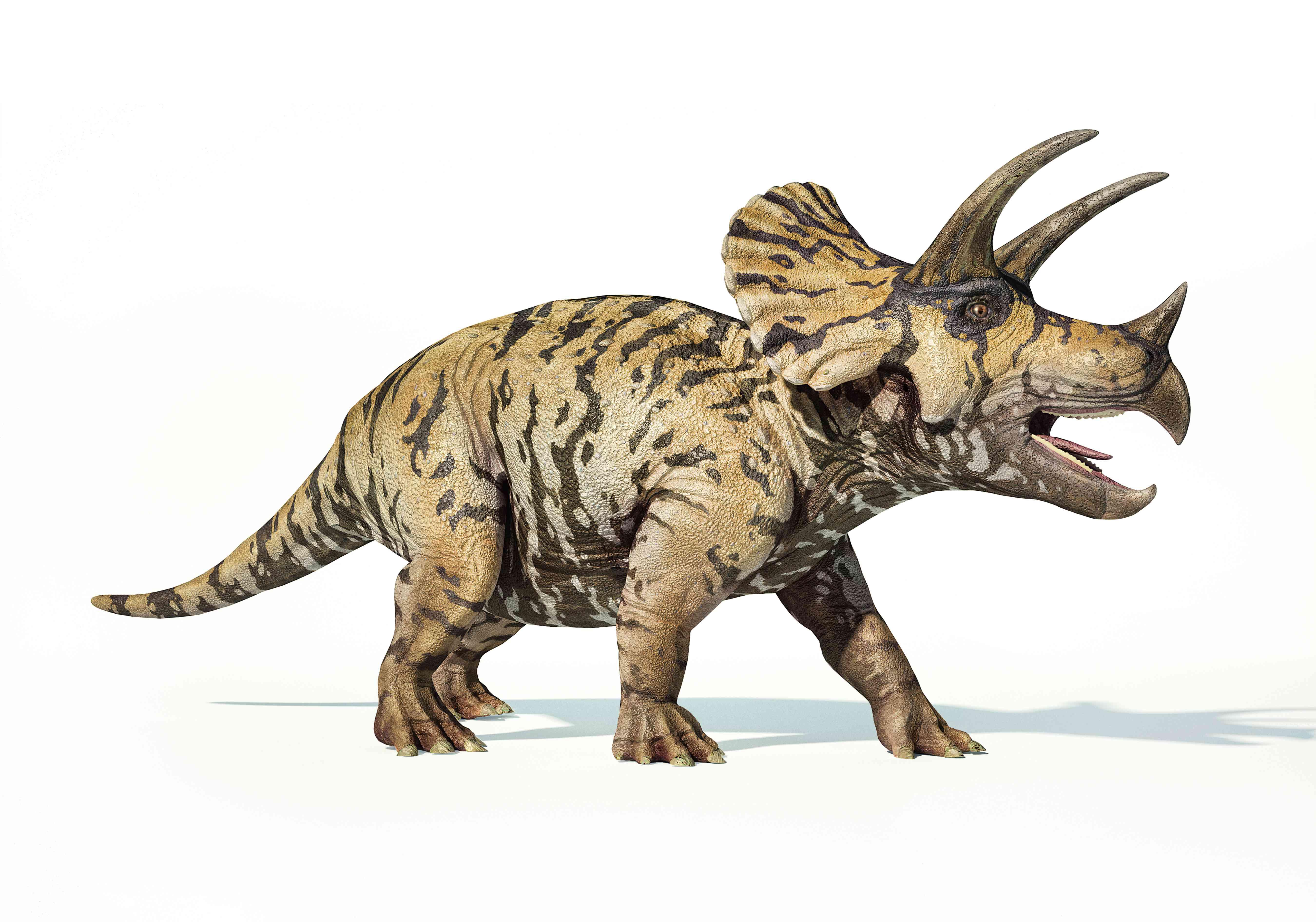 Triceratops dinosaur, illustration