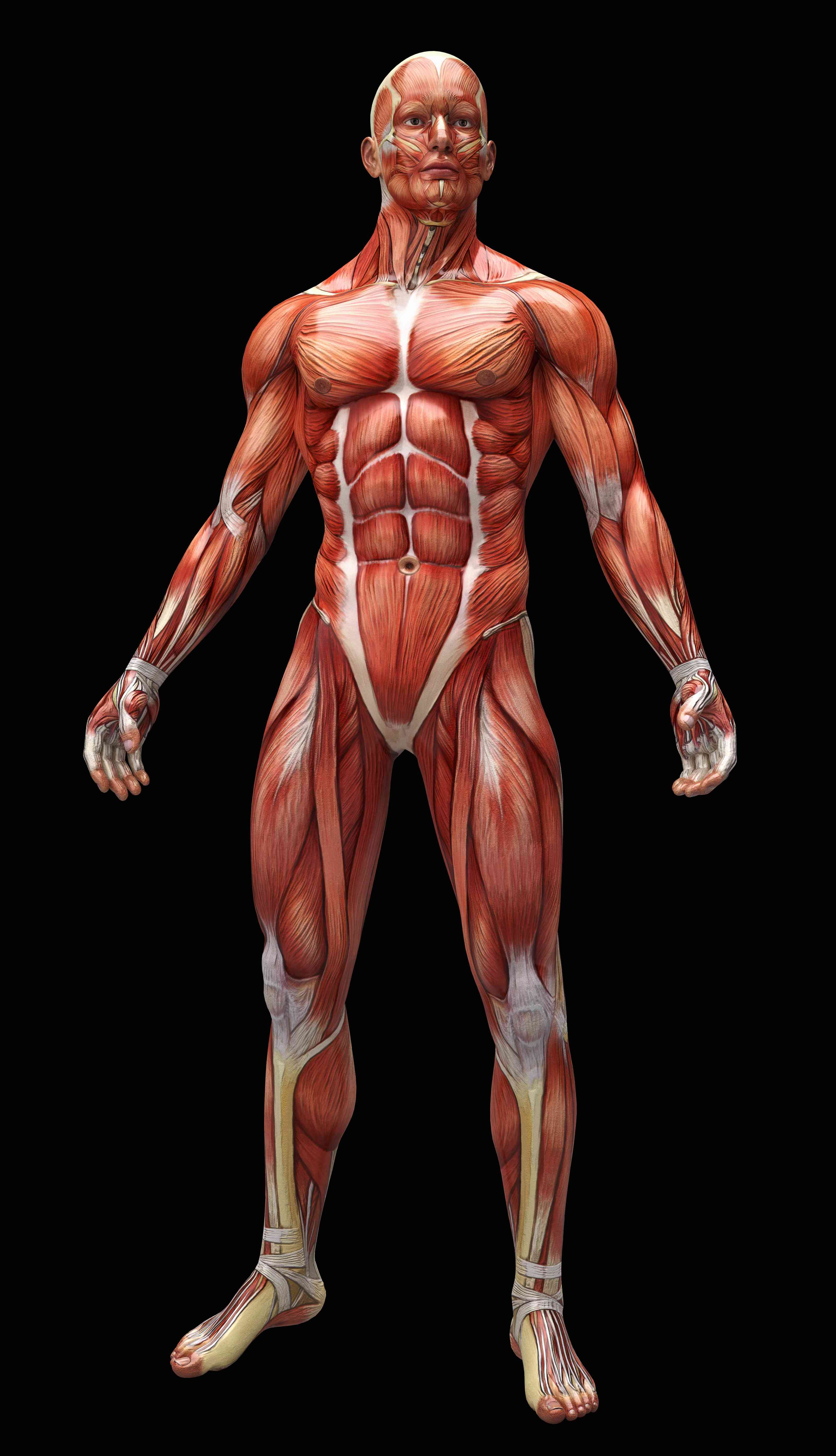 Digital illustration of the human muscles and tendons.