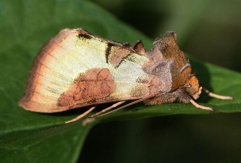 Burnished brass owlet moth.
