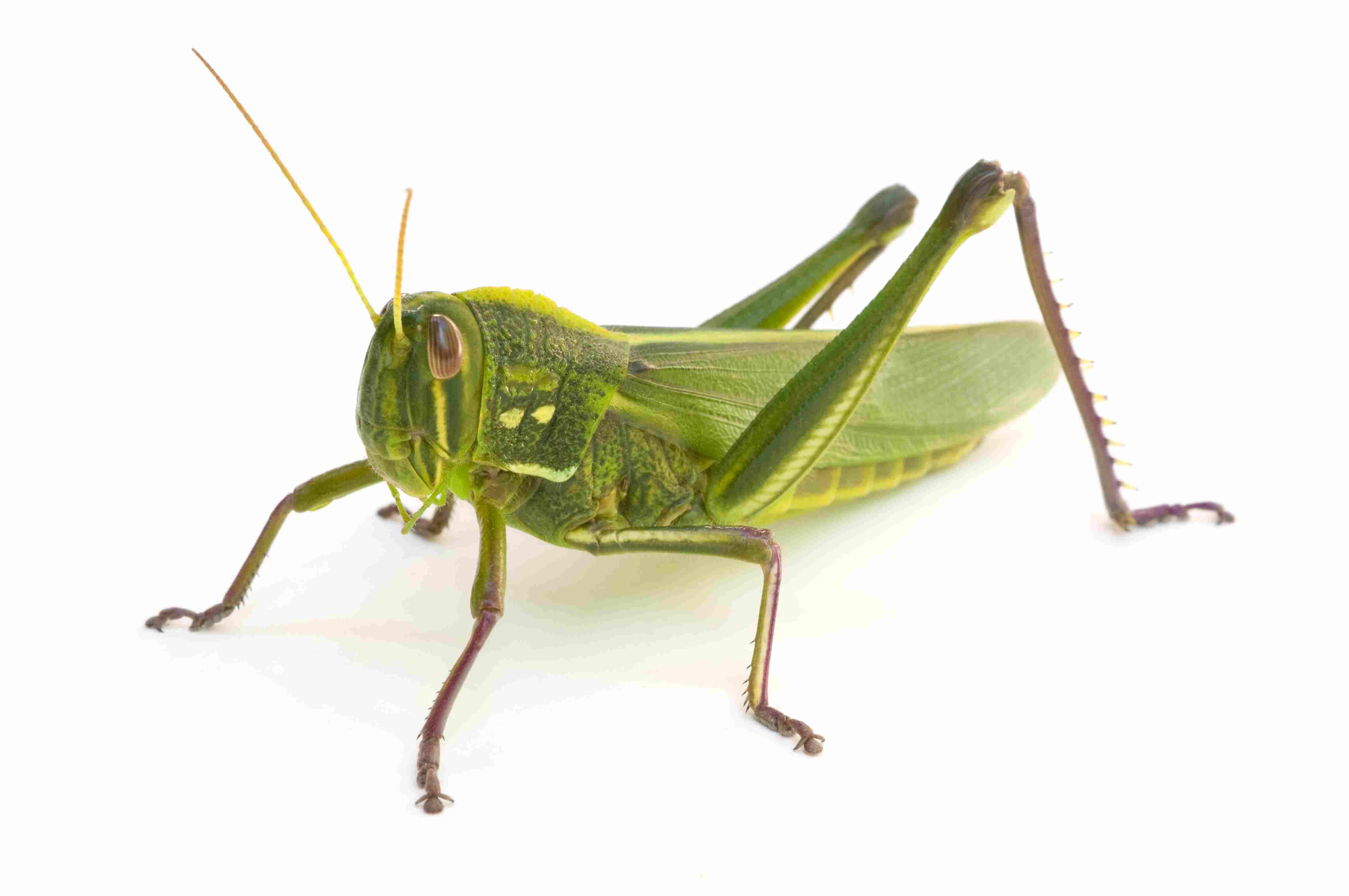How Do Crickets, Grasshoppers, and Cicadas Sing?