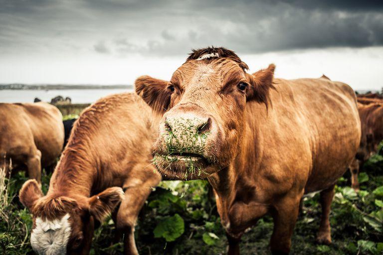 Portrait Of Cows Grazing