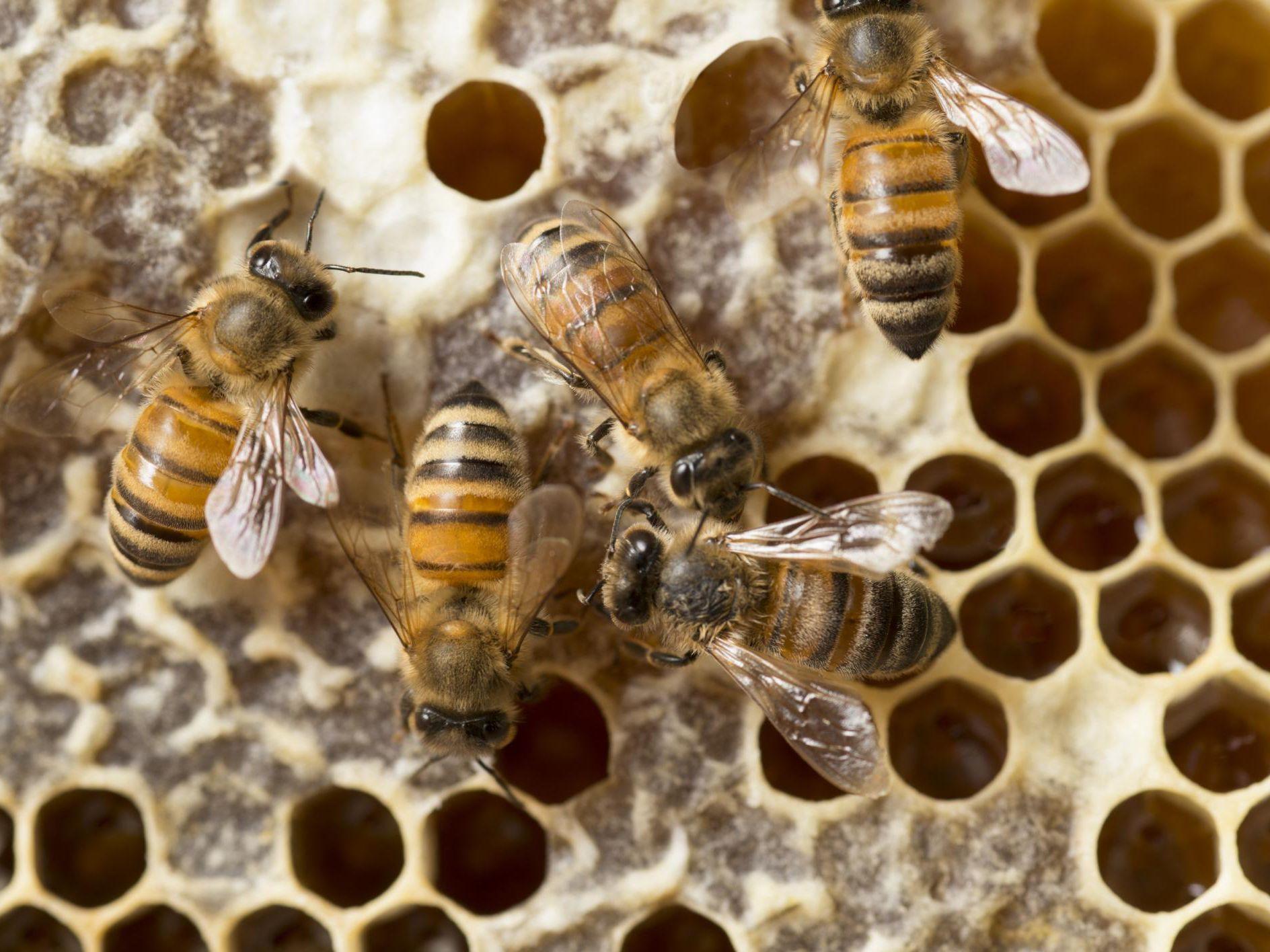 Sexual Suicide by Honeybees