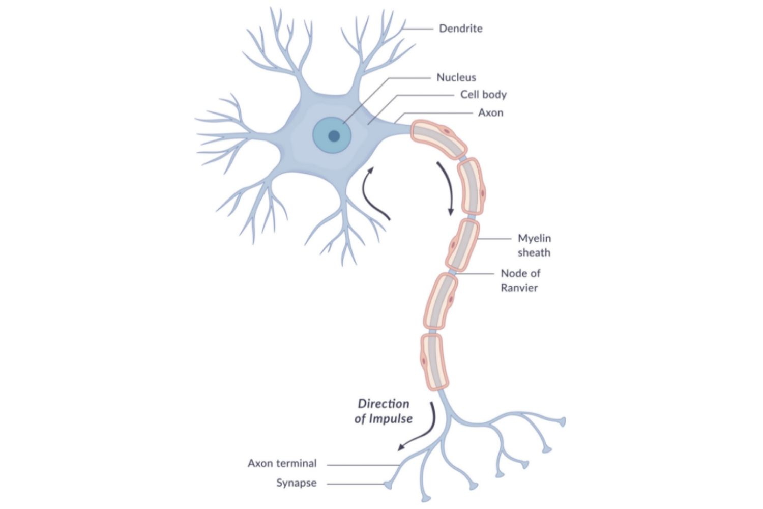 Human Biology The Anatomy Of Neurons Cell Model With Labels Animal Structure Unlabeled Diagram Labeled A Neuron